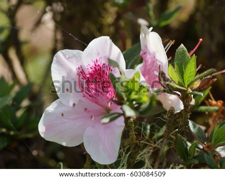 Pink rhododendron flowers in cloudforest. Costa Rica, Alajuela Province, Central Cordillera, Poas Volcano National Park
