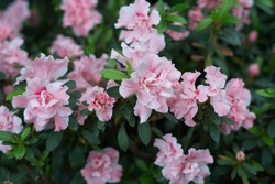 Pink rhododendron flowers on fresh rhododendron bushes during spring time in Eastern Europe.