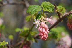 Pink Ribes sanguineum flowering in Spring, common name as flowering currant, redflower currant, red-flowering currant, or red currant is a North American species.