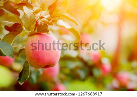 Pink Ripe Apples In The Garden With Bright Sun. Bright Red Apples With Sunlight #1267688917