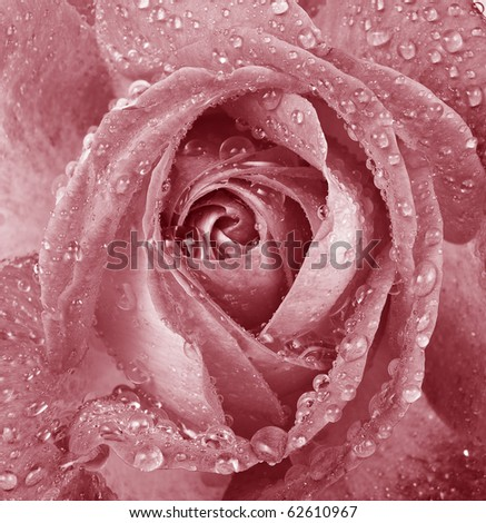 pink romantic dewy rose
