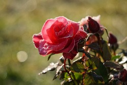 Pink Rose And Frost In The Garden.