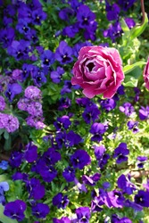 pink rose and purple flowers are blooming at a garden in Yokohama, Japan in March and April in spring time.