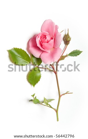 Pink rose and rosebud on white background