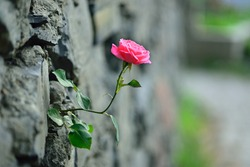 pink rose and stone wall