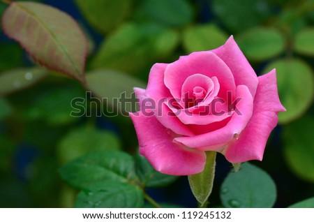 Pink Rose Blooming in Garden