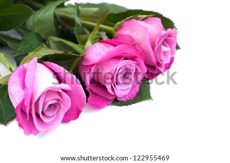 Pink rose blossoms on a white background