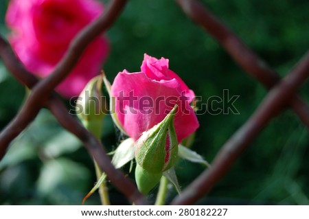 pink rose bud behind the metal wire fences