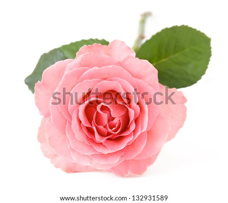 Pink rose closeup isolated on white background