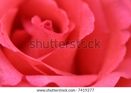 pink rose flower background. stock photo : Pink rose,