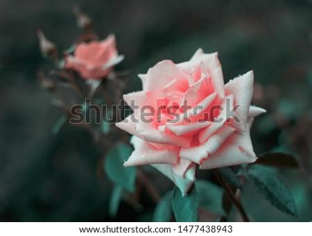 Pink rose flower bloom in a roses garden. #1477438943