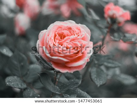 Pink rose flower bloom on a background of blurry pink roses in a roses garden. #1477453061