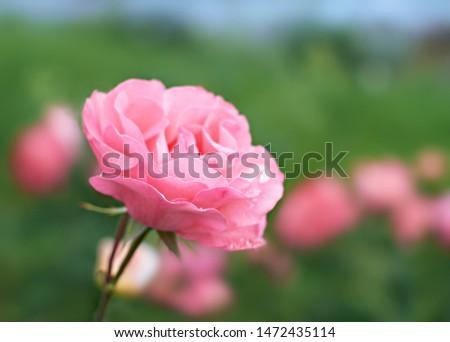 Pink Rose flower bloom on background blurry roses in roses garden.  #1472435114