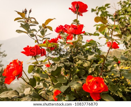 Pink Rose Flower Branch: Many flowers blooming in a rose garden. Captured in a sunny day daytime from a rose garden. Rose color is pink leafs and buds are in blur background.  #1083776870