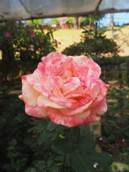pink rose flower in the garden at Chiengmai Thailand