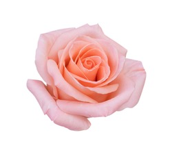 Pink rose flower isolated on white background, soft focus and clipping path