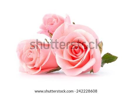 pink rose flower on white background #242228608