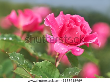 Pink Rose flower with raindrops on background pink roses flowers. Nature. #1138418969