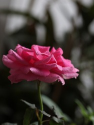 Pink Rose flower with raindrops on background pink roses flowers. Nature. Selective Focus.