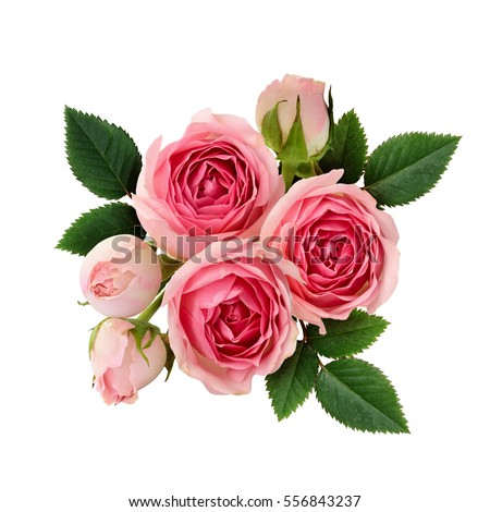 Pink rose flowers arrangement isolated on white #556843237