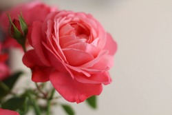 Pink Rose Flowers Blossom Beautiful. Roses blossom in various colors like pink. Rose Gardening for rose plants and secrets to success for roses gardening. Perfect for Mother's Day, Valentine's Day.