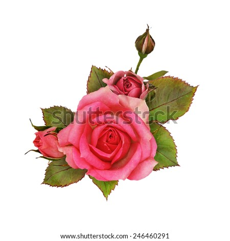 Pink rose flowers isolated on white