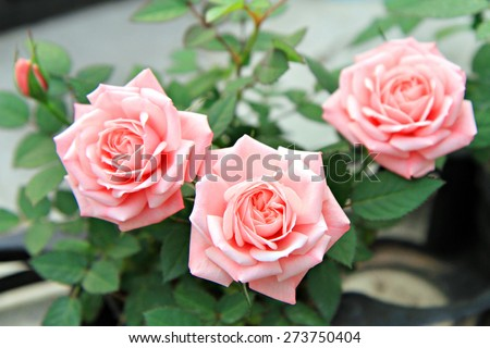 Pink rose flowers with background blurred stock photo 273750404 pink rose flowers with background blurred mightylinksfo