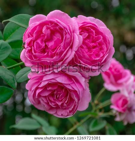 Pink Rose Garden, rose  bishop castle