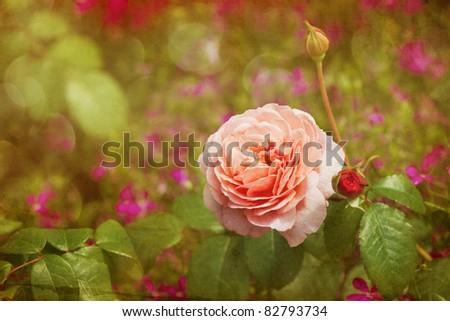 pink rose in a vintage color look