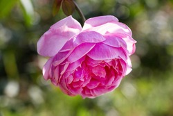 pink rose in autumn garden