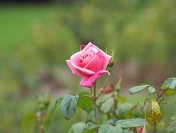 Pink rose in the Belfast botanical gardens