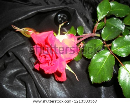 Pink rose in the dark Stok fotoğraf ©