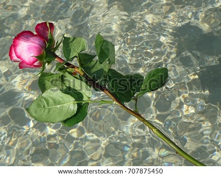Pink rose in the water In the photo there is a pink rose in the the river.
