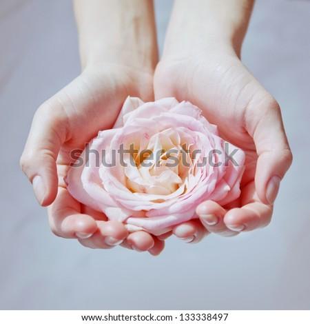 pink rose in women\'s hands