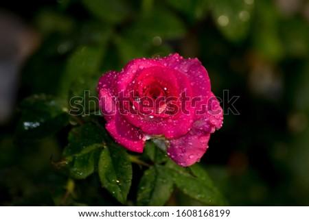 Pink rose, Lower petals white petals.