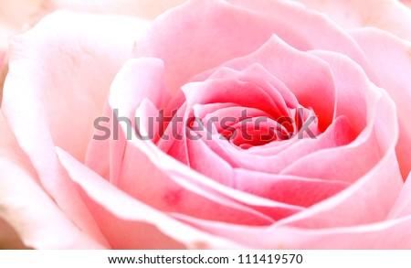 pink rose macro
