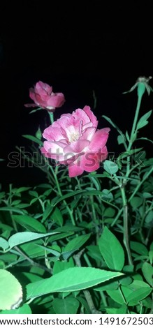 pink rose night view pic use for background
