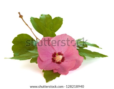 Pink Rose of Sharon Flower with stem and Leaves on White that can used for a card or invitation.