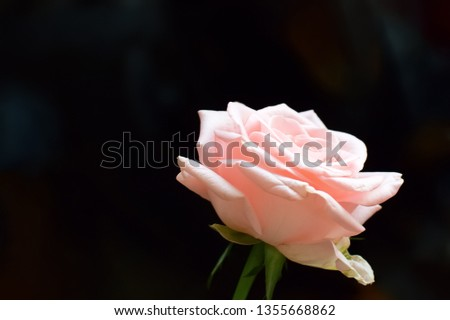 Pink rose on a dark background. Closeup of a flower. Closeup of a flower. Copy space