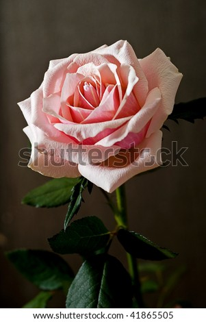pink rose on brown - gray background