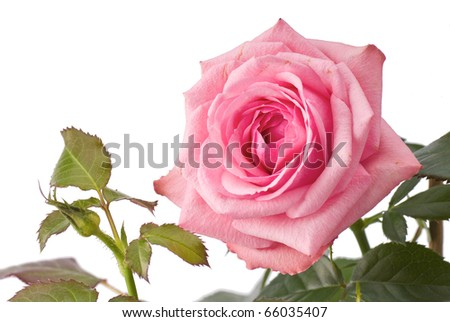 Pink rose on stem with green leaves