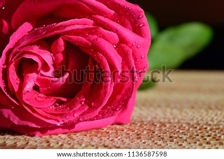 Pink rose on the table. Rosebud. A Valentine's day gift. Dew drops on the flower petals.