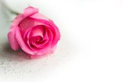 Pink rose on white background, copy space for the text