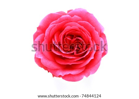 pink rose on white background - flowers and plants