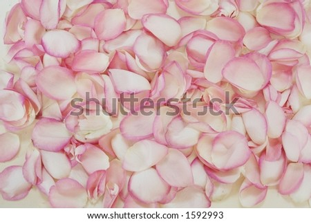 Pink Rose Petals. stock photo : pink rose petals