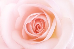 Pink Rose texture,sweet color roses in soft color for flora background