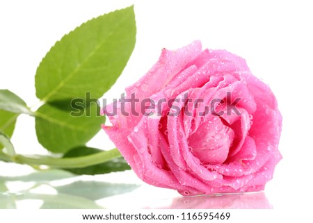 Pink rose with drops isolated on white