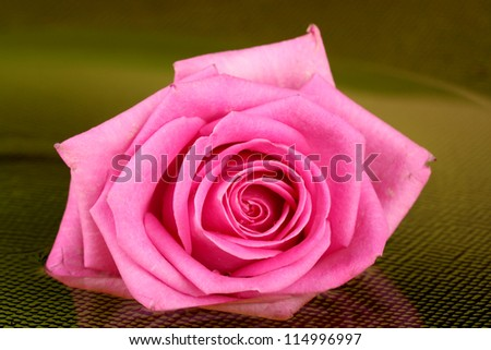 pink rose with drops on  green background
