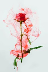 Pink rose with green leaves inside the water on a white background. Watercolor style and abstract image of red rose.
