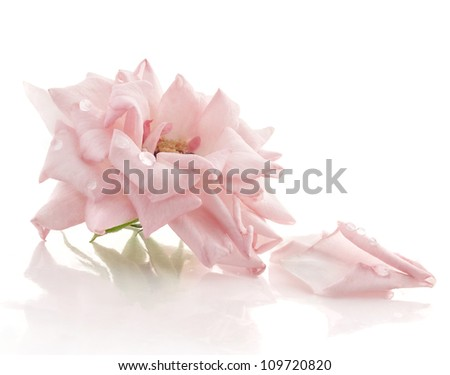 Pink rose with petals on white background